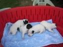 Cuccioli di Macchietta e di Totò