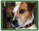 I nostri Jack Russell Terrier